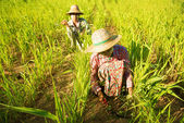 Traditional Asian farmers — Stock Photo