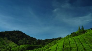 çay tarlaları cameron highlands, malezya. — Stok video