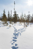 Footprints in the snow in winter forest — Stock Photo