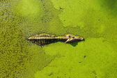 Alligator in wetland pond covered with duckweed and swimming — Stock Photo