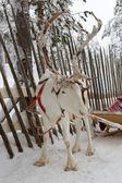 Renifery w zimie w kręgu polarnego. — Zdjęcie stockowe