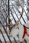 Renifer z od finlandii — Zdjęcie stockowe