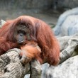 Stock Photo: Orangutin zoo