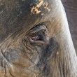 Face of an African elephant — 图库照片