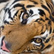 Stock Photo: Face adult tiger