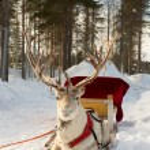 Reindeer in harness — Stock Photo
