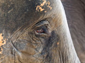 Face of an African elephant — Stock Photo