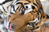Face adult tiger — Stock Photo