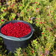 Bucket of cranberries in the forest — Photo