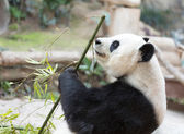 Cute Giant Panda Eating Bamboo — Stock Photo