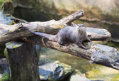 Spotted-necked otter (Lutra maculicollis) — Stock Photo
