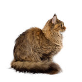 Cat breed Maine Coon. Portrait in profile — Stock Photo