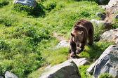 Oso pardo está posando en la roca — Foto de Stock