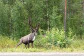 Deer near the road — Stock Photo
