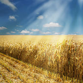 Corn field, half harvested — Stock Photo