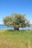 Olive tree by the sea — Stock Photo