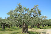 Olive grove in Greece — Stock Photo