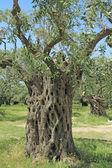 Olive grove in Greece — Stock Photo