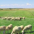 Herd of sheeps — Stock Photo #31391023