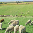 Herd of sheeps — Stock Photo #31391049