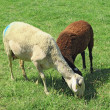 sheeps grazing — Stock Photo
