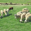 Stock Photo: herd of sheeps