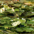Water lilies — Stock Photo #13192441
