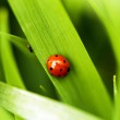 Ladybug on the grass — Stock Photo