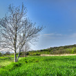 Growing wheat field with tree, hdr pictures — Stock Photo