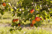 Fresh apricots on a branch — Stock Photo