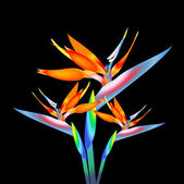 Bird of paradise flower, vector — Stock Vector