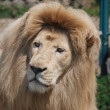 Stock Photo: White lion