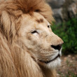 Stock Photo: White lion close up
