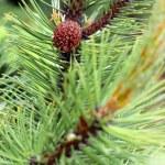 Pine — Stock Photo #38025401