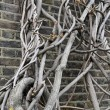 Stock Photo: Wall clambering tree