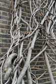 Wall clambering tree — Stock Photo