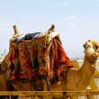 Camel transport - 图库照片