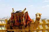 Camel transport — Stock Photo