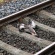 Railroad kill — Stock Photo