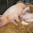 Stock Photo: Sow with piglets