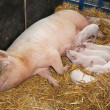 Sow with piglets - Stock Photo
