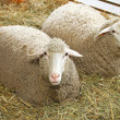 Sheep — Stock Photo #24468511