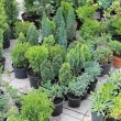 Stock Photo: Evergreen plants