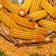 Maize corn — Stock Photo