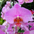 Pink orchid — Stock Photo #30241447