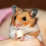 Hamster — Stock Photo #30966281