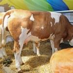 Cows — Stock Photo #31026843