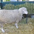 Stock Photo: Ewe in pen