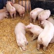 Pigs — Stock Photo #31027103