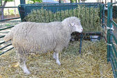 Ewe in pen — Stock Photo